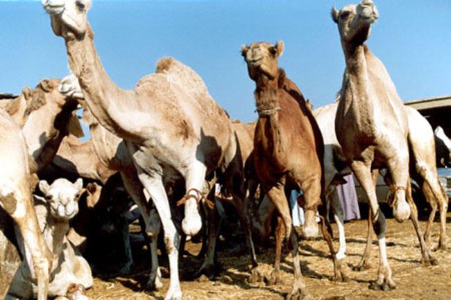 cairo_camels
