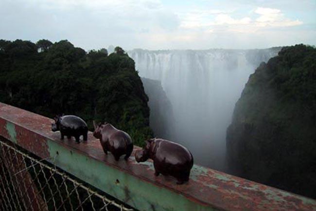 hippos_crossing_bridge