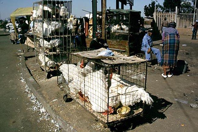 soweto_chickens