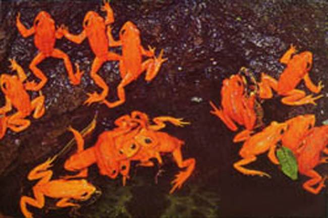 red_frogs