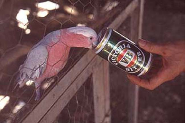 The beer drinking galah of Dali Waters
